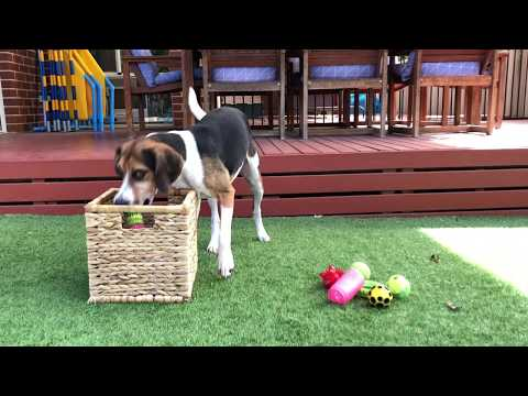 Monty the beagle x harrier tidying toys into a basket