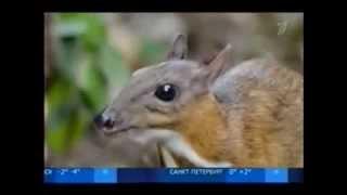 Мышиный олень,редкое млекопитающее