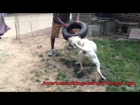 American Bulldog Kills Blue Pit Bull