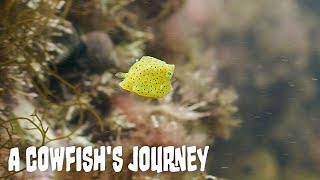 A Cowfish's Journey