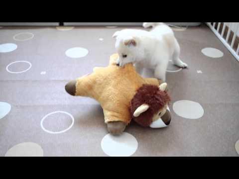 柴犬の子犬に猫が怒った  shibainu