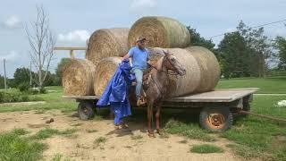 Rosie, well broke red roan Appaloosa trail horse for sale. Well broke