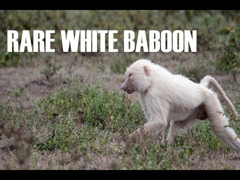 Rare White Baboon in Arusha National Park