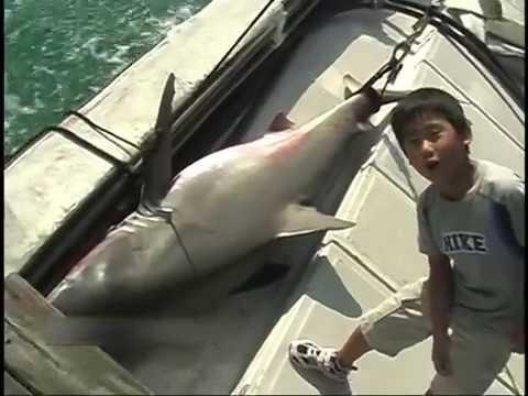 衝撃!サメ退治 in 五島列島【shark hunting】【サメ釣り】※バットで撲るシーン有り。気分害する方、閲覧注意!!