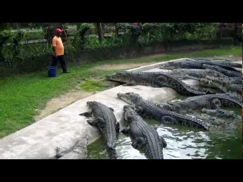 Crocodile Feeding at Langkawi Crocodile Farm