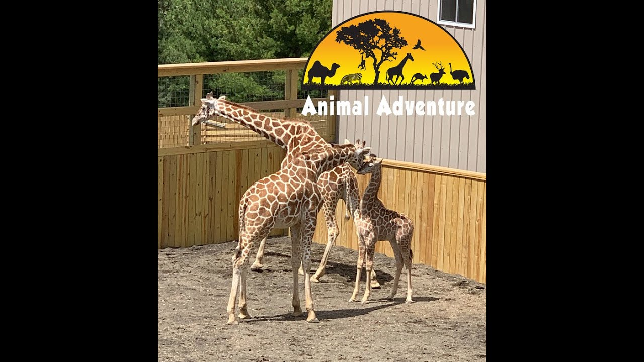 April the Giraffe & Sons - Giraffe Yard Cam - Animal Adventure Park