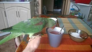 Александрийский попугай: Гринни11 месяцев
