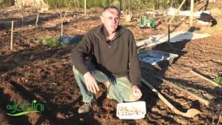 comment planter de l ail