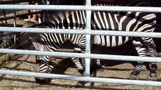 Зебра-пони или как? Интересные животные.