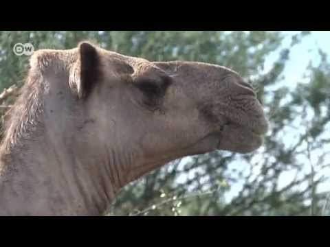 Kenya's Dairy Industry Switches From Cows To Camels | Global Ideas