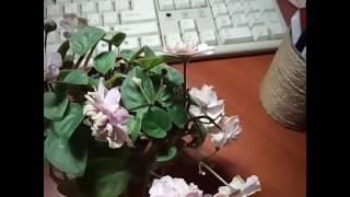 Фиалка  Pink Mint (трейлер)