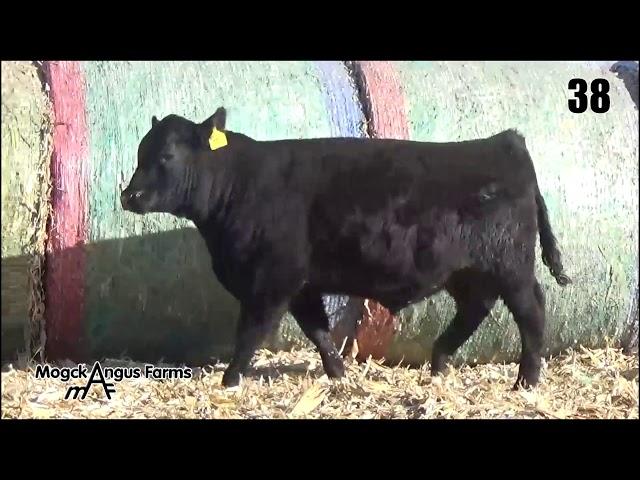 Mogck Angus Farms Lot 38