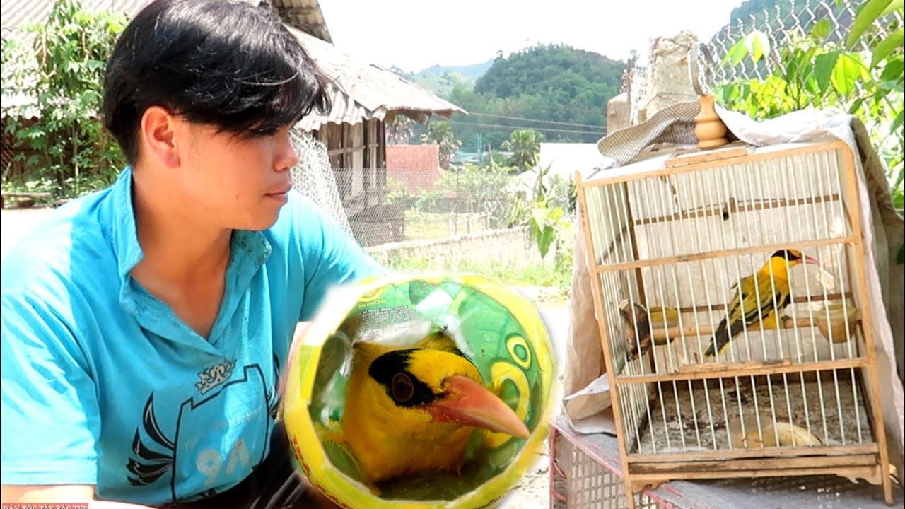 Cứu Chim Vàng Anh Bị Thợ Săn Bẫy Thịt | Dân Tộc Tây Bắc Tv