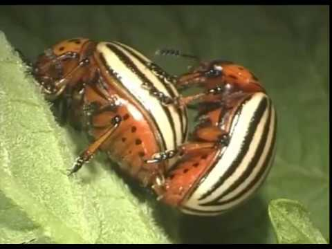 Кораген® для защиты картофеля от колорадского жука