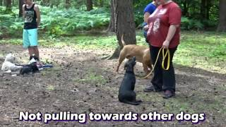 Gibbs - Dogue De Bordeaux - 2 Week Residential Dog Training At Adolescent Dogs