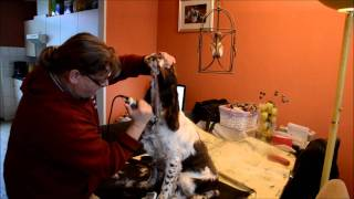 Grooming 6 Months Old English Springer Spaniel