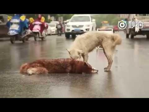 Perro llora la muerte de su amigo que fue atropellado
