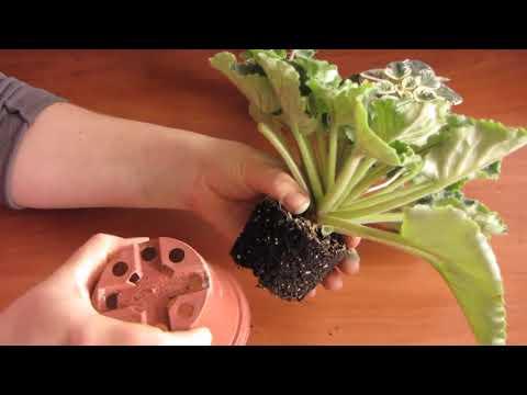 Вопрос: Как выглядит фиалка Raspberry Crisp, фото и описание?