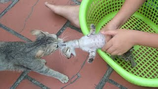 Super unique! Mother cat take back the baby kittens from the boy
