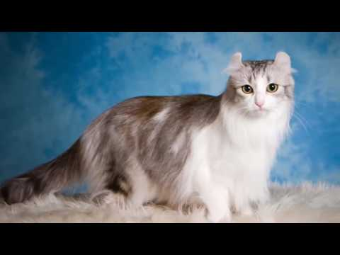Cat American Curl History.Personality.Coat Color And Grooming