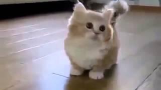 ЛУЧШИЕ ПРИКОЛЫ С ЖИВОТНЫМИ    Котенок с короткими лапами Funny Cat Game