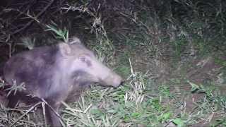 イノシシの世界、6、7月は子育て最中、無人撮影、野生動物の目線 イノ...