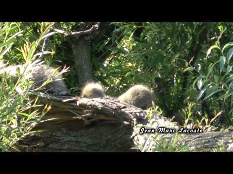 Des ratons laveurs au parc des Rapides