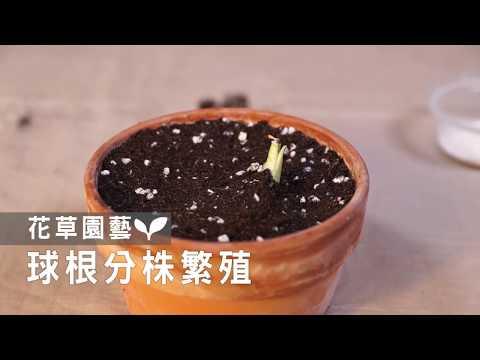 【園藝密技大公開】一起來繁殖球根寶寶,一盆變十盆!複製相同的美麗~