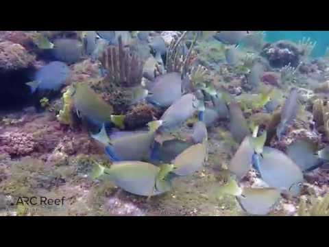 Ocean Surgeon Fish, Blue Tangs, And Parrot Fish In Same School Eating Algae