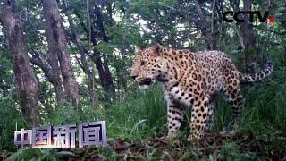 [中国新闻] 陕西:自然保护区外首次监测到金钱豹种群影像 | CCTV中文国际
