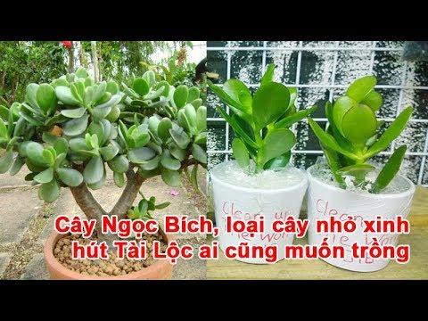 Cây Ngọc Bích, loại cây nhỏ xinh hút Tài Lộc ai cũng muốn trồng