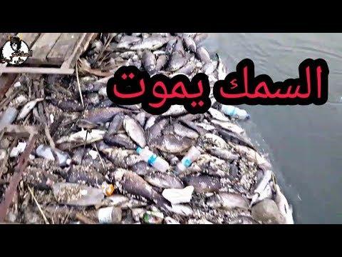 فاجعه تصيب السماك في العراق . شاهد ماذا حدث للاسماك في نهر الفرات الثروه السمكيه تنهار