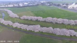 DJI Phantom4 桜並木 空撮