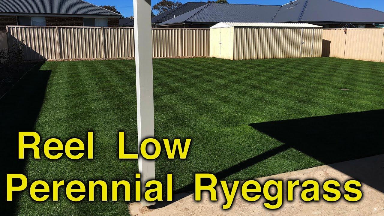 15mm (5/8) Perennial Ryegrass  Reel Mower