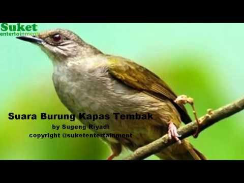 Download Suara Burung Kapas Tembak mp311