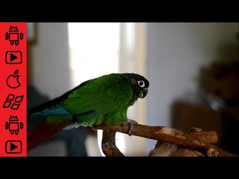 Green Cheeck Conure Parrot Dancing to some Royalty free Techno Music