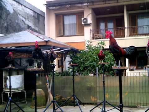 Ayam ketawa Koleksi Zaenal Farm bogor (Biola) type dangdut