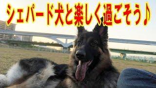 ジャーマンシェパード犬のマック君 河川敷で自由運動で楽しい散歩 チャ...