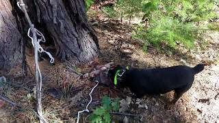 Train Jagdterrier to blood trail a deer / Обучение ягдтерьера по кровяному следу