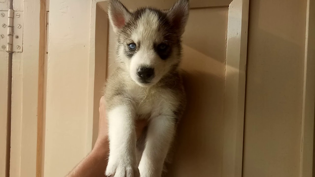 Siberian Husky Pups Sale In Ludhiana At Low Price 9671116765 Patiala