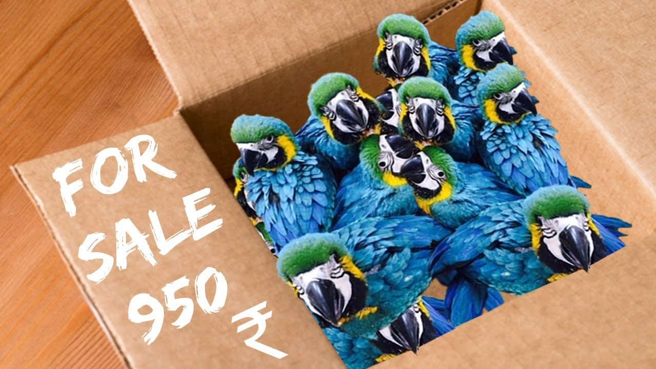 macaw birds and chicks for sale in India