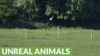 Seagulls attempt to scare off intruding osprey