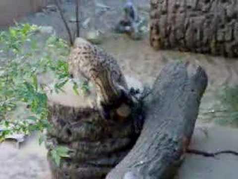Iberian lynx cub at play