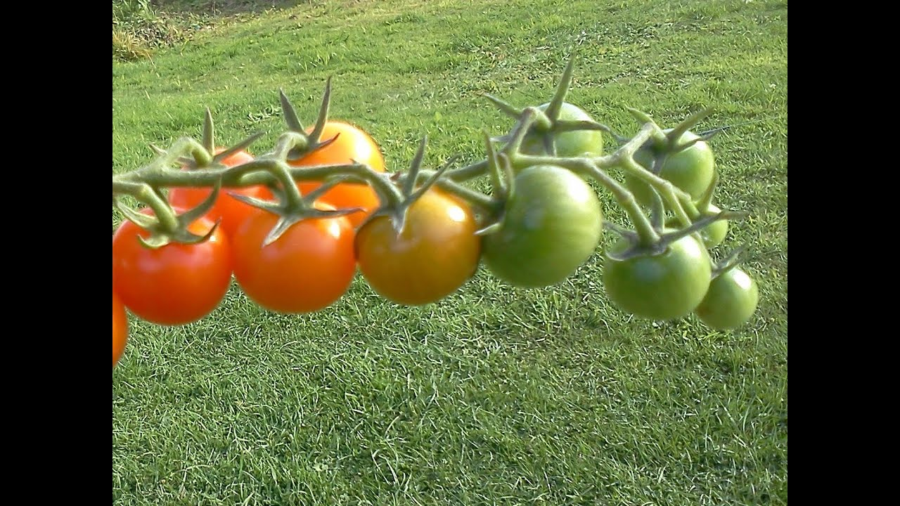 what makes tomatoes turn red youtube. Black Bedroom Furniture Sets. Home Design Ideas