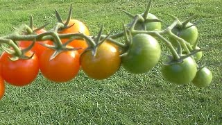 What Makes Tomatoes Turn Red