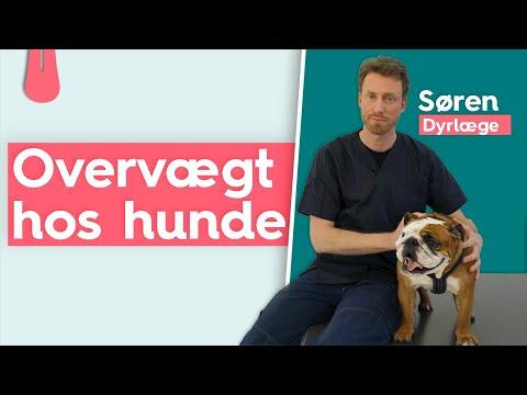 OVERVÆGTIG HUND - Hvordan taber min hund vægt? | Vuffeli