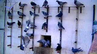 Racing Pigeons listen to training commands