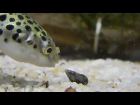 Green Spotted Puffer Trying To Eat A Trumpet Snail