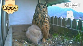 Happy Eagle Owl Couple Gave Up Hatching Their Egg, Because..