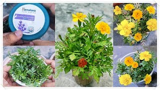 How to grow Marigold ll What Happened when transplanted 100 of Marigold Plants in a very small pot